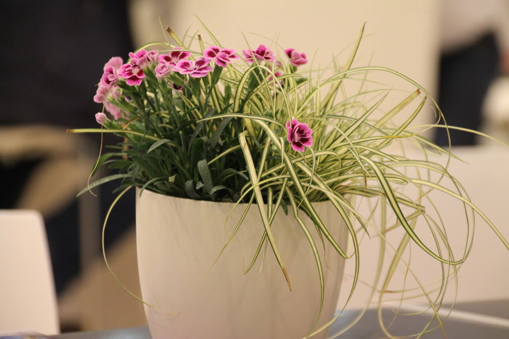 Nelke 'Pink Kisses' und Carex Evergold